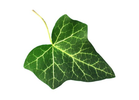 fresh green ivy leaf isolated on white