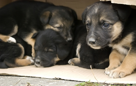 domestication: four homeless puppies in a carton