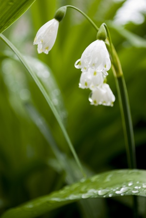 lilly of the valley flower in garden Stock Photo - 9454025