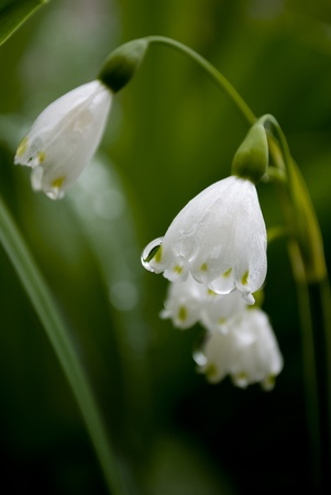 lilly of the valley flower in garden photo