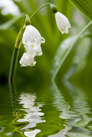 lilly of the valley flower with water reflection