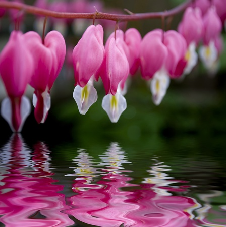 dicentra pink bleeding heart flower with water reflection close up soft focus photo
