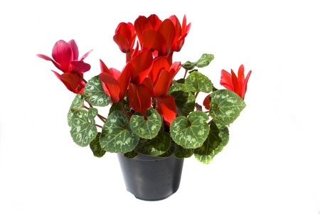 cyclamen: red cyclamen flower isolated on white background