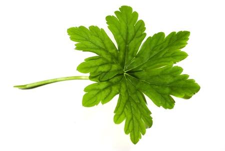fresh green geranium leaf isolated on white background Stock Photo - 9533760