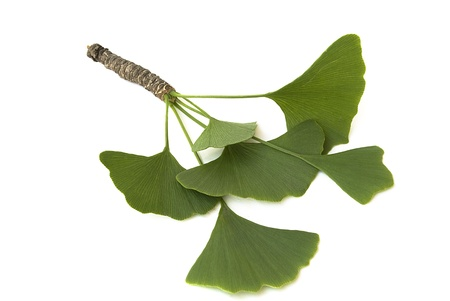 fresh green ginkgo biloba branch with leaves isolated on white background Standard-Bild