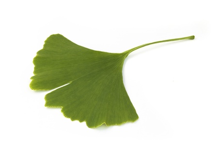 fresh green ginkgo biloba leaf isolated on white background photo