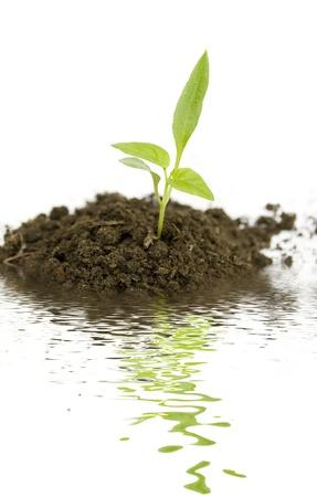 groeiende nieuwe groene plant met water reflectie geïsoleerd op witte achtergrond