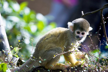 squirrel monkey: little cute monkeys playing on a tree in zoo Stock Photo