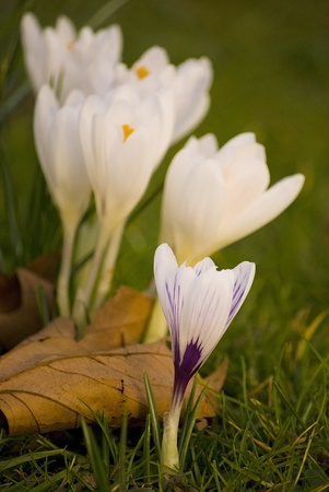 beautiful spring crocuses on a green grass in park photo