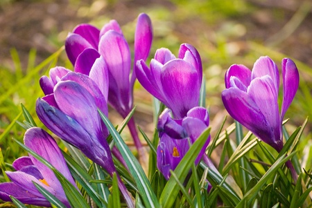 beautiful spring crocuses on a green grass in park