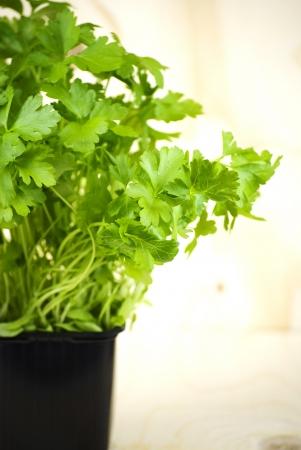 organic fresh green parsley in a pot photo