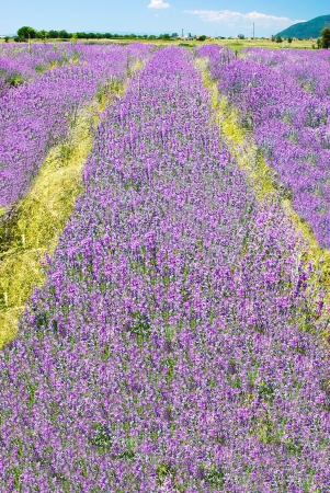purple blooming lavender field in Bulgaria photo