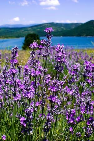 purple blooming lavender field in Bulgaria Stok Fotoğraf