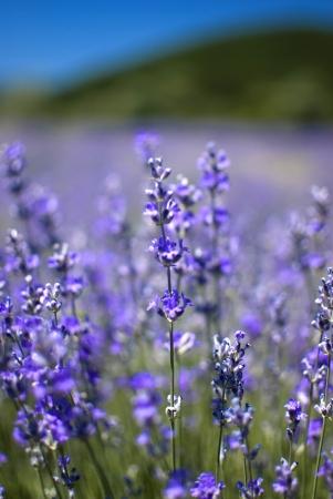 purple blooming lavender field in Bulgaria Standard-Bild