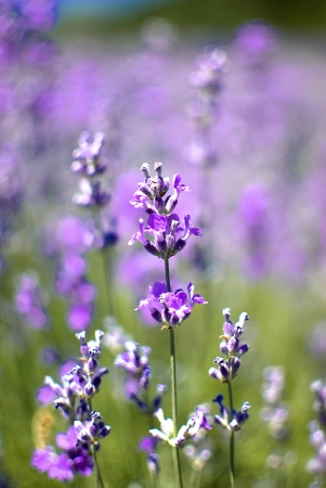 herbs of provence: purple blooming lavender field in Bulgaria Stock Photo