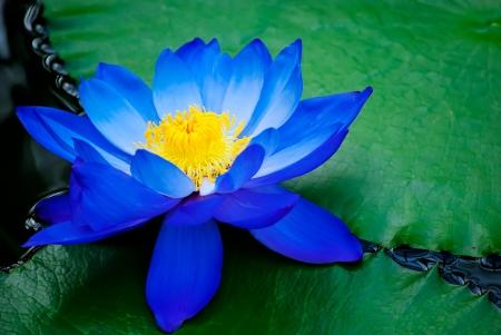 lirio acuatico: azul lirio de agua en Kew Gardens de Londres