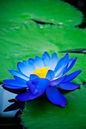 lotus blossom: beautiful blue water lily in Kew Gardens London Stock Photo