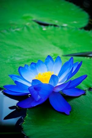 beautiful blue water lily in Kew Gardens London Standard-Bild