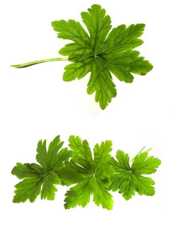 fresh green geranium leaf isolated on white background
