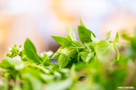 chef prepare fresh basil leaves for cooking Thai food.asian vegetable basil leaf.closeup basil leaf for cook.green fresh basil leaves from Thailand.