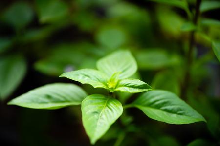asian vegetable basil leaf.closeup basil leaf for cook.fresh basil leaves from Thailand.basil garden.put forth leaves.be in bud. Stock fotó