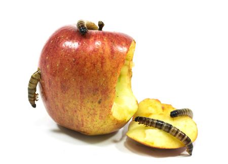 worm is coming out of bitten apple isolated on white Stock Photo - 22885725