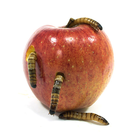 worm is coming out of bitten apple isolated on white photo