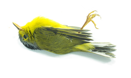 accident dead: closeup of dead yellow bird on white background  Stock Photo