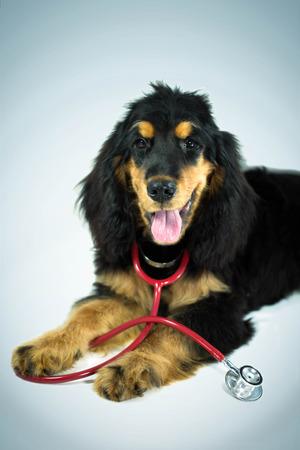 Cocker Spaniel dog and a stethoscope photo