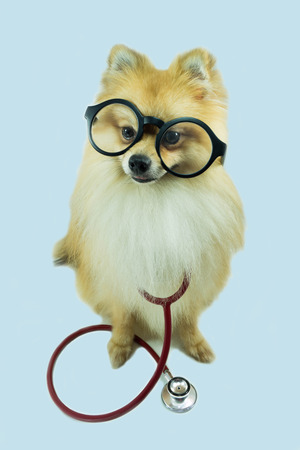 Pomeranian dog and a stethoscope photo