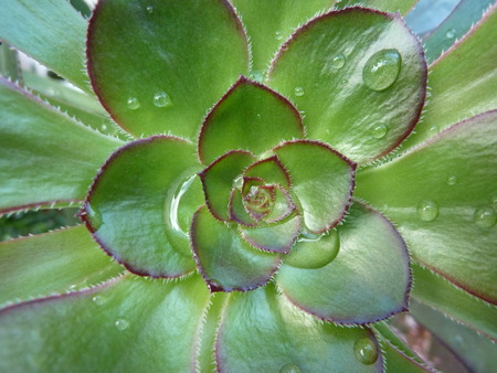 succulent plant with raindrops