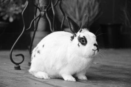English Spotted rabbit Stok Fotoğraf