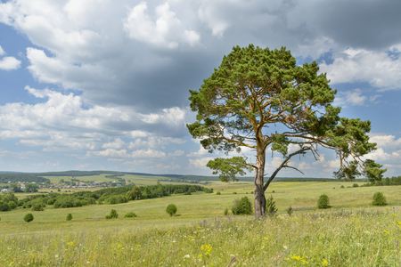 overbearing: solitary pine tree stands alone against blue sky with forest in the background