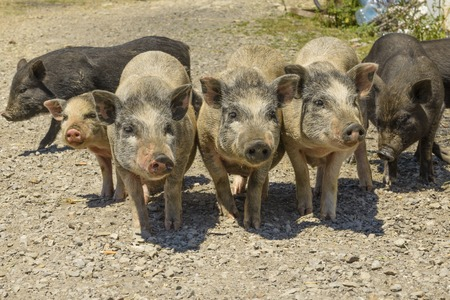 barnyard: pigs in the barnyard in the village