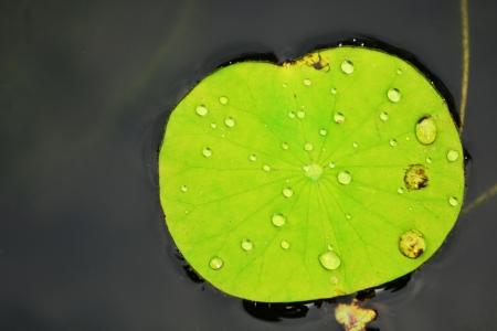 rolling water on lotus leaf