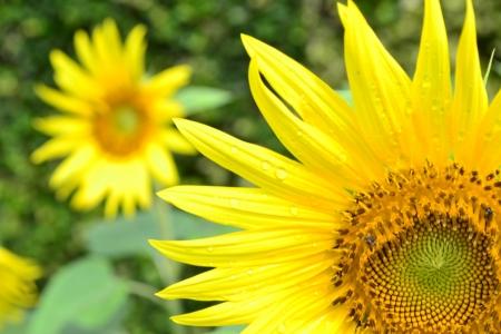 sun flower Banque d'images