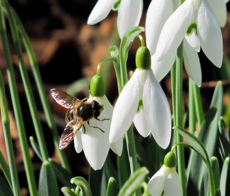 maybe: Insect maybe a bee on a white flower