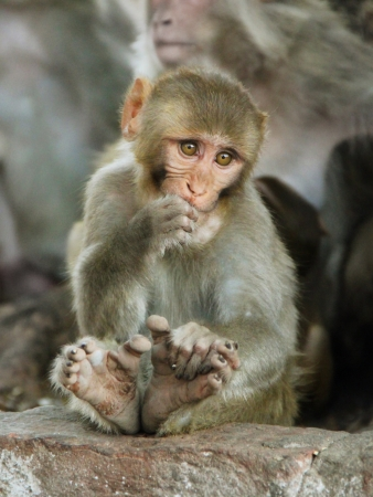 Young macaque monkey sitting on the stone