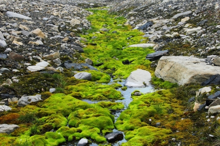 Green moss growing at Spitsbergen  Svalbard  Stock Photo