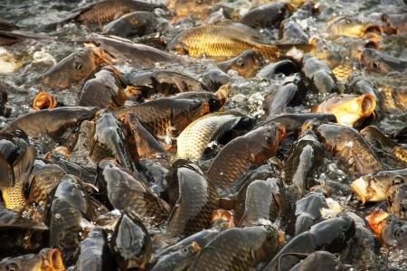 Carps in the Sacred Lake of Rewalsar