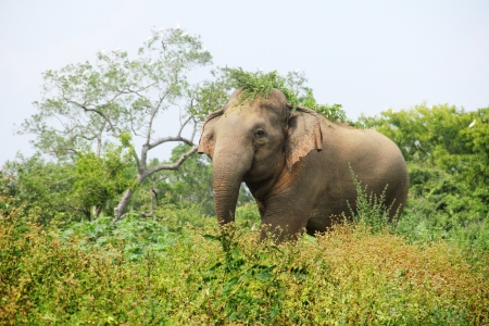 Elephant in the grass, Sri Lanka