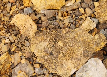 Petrified leaf, Paleontology background from Spitsbergen rocks   Stock Photo