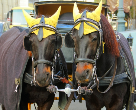 Portrait of two nice coachfellow crow horses dressed in traditional yellow cap at winter. Christmas days in old city of Vienna, Austria, Central Europe Stock Photo