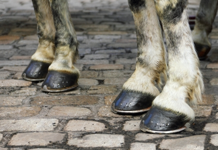 Image with two pair of white horse hooves on a block pavement. Christmas days in the old city of Vienna, Austria, Central Europe
