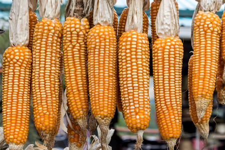 planta de maiz: grupo de maíz colgado en barra