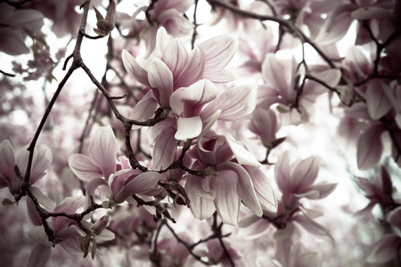 Spring bloom of magnolia blossoms in desaturated style