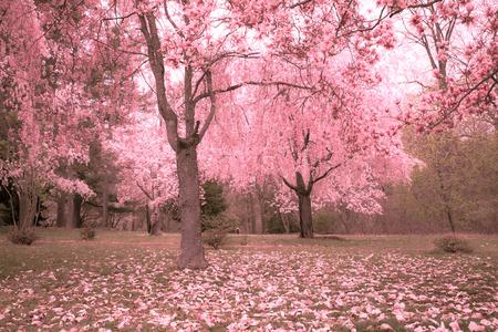 春に咲く桜の木
