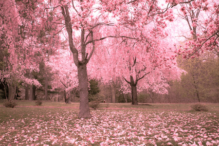 Spring blooming cherry trees