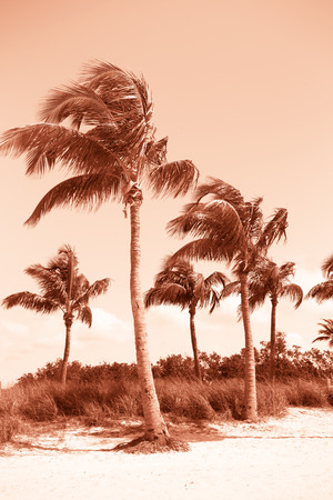 breeze: Toned image of Beautiful palm trees swaying in the breeze