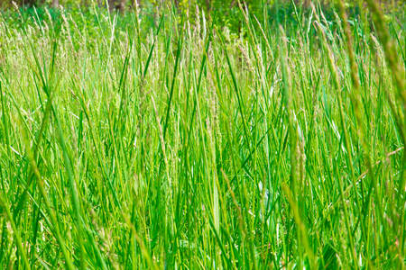 tall grass texture. Stock Photo - Tall Grass Texture For Background T